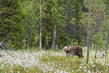 European Brown Bear (Ursus arctos arctos) adult, standing on cotton grass filled taiga swamp, Suomussalmi, Finland, Europe