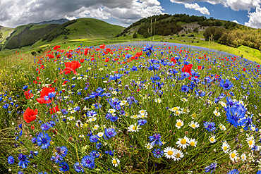 Wildflower meadow of poppies, ox-eye daisy and cornflower, Monte Sibillini Mountains, Piano Grande, Umbria, Italy, Europe