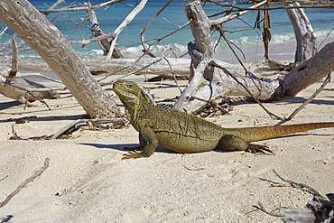 A Turks and Caicos rock iguana (Cyclura carinata), on Little Water Cay, Providenciales, Turks and Caicos, in the Caribbean, West Indies, Central America