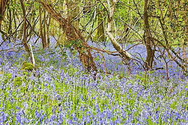 Bluebells in flower in Lady's Wood, near South Brent, Devon, England, United Kingdom, Europe