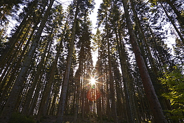 Conifer plantation in Plymbridge Woods, Plymouth, Devon, England, United Kingdom, Europe