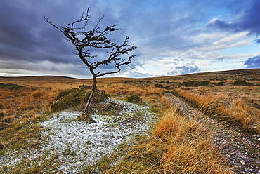 An autumnal view of a wind-gnarled hawthorn tree, on moorland on Gidleigh Common, Dartmoor National Park, Devon, England, United Kingdom, Europe