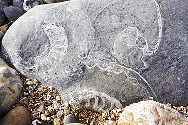 Two Ammonite fossils and a Nautilus fossil in rocks on Monmouth Beach, Lyme Regis, Jurassic Coast, UNESCO World Heritage Site, Dorset, England, United Kingdom, Europe