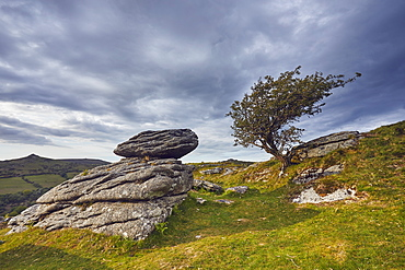 Granite boulders and a wind-gnarled hawthorn tree on Bench Tor, a typical landscape feature of Dartmoor National Park, Devon, England, United Kingdom, Europe