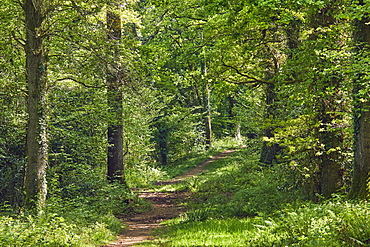 A bridleway cuts through ancient oak woodland in mid-summer, in Ashclyst Forest, near Exeter, Devon, England, United Kingdom, Europe