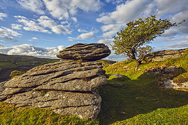 A classic Dartmoor scene, a granite boulder and wind-gnarled hawthorn tree, on Bench Tor, Dartmoor National Park, in Devon, England, United Kingdom, Europe