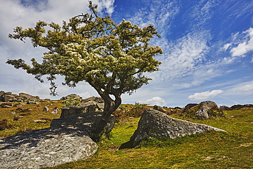 A classic Dartmoor scene, a hawthorn tree in flower in early summer on Bonehill Rocks, Dartmoor National Park, Devon, England, United Kingdom, Europe