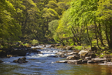 Ancient oak woodland in summer, lining a boulder-strewn River Dart in the heart of Dartmoor National Park, Devon, England, United Kingdom, Europe