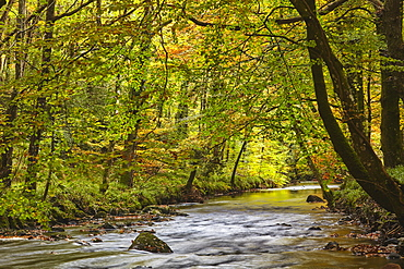 An autumn scene in ancient beech and oak woodland along the banks of the River Teign, in Dartmoor National Park, Devon, England, United Kingdom, Europe