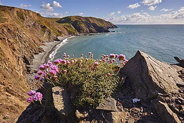 Cliffs along Devon's Atlantic coast, with a cluster of Sea Pink (Thrift) (Armeria maritima) in flower, Hartland Quay, Devon, England, United Kingdom, Europe