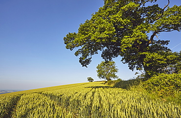 English farmland, a field of growing wheat with an old oak tree standing close by, near Crediton, in Devon, England, United Kingdom, Europe
