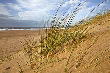 Marram grass stabilising sand dunes along the edge of a magnificent beach, at Woolacombe, north Devon, England, United Kingdom, Europe