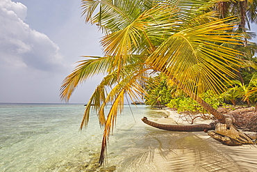 Coconut palm hanging over the beach, Kuramathi Island, Rasdhoo atoll, Ari atoll, Maldives, Indian Ocean, Asia