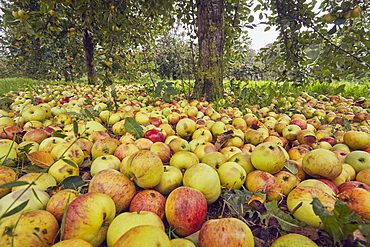 Fallen cider apples ready for harvest in September, Somerset, England, United Kingdom, Europe