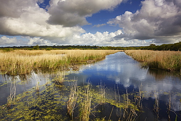 Marshes and reeds at Westhay Moor Nature Reserve, part of the Avalon Marshes, in the Somerset Levels, near Glastonbury, Somerset, England, United Kingdom, Europe