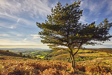 A lone pine tree on a hill called Wills Neck, 384m, highest point in the Quantock Hills, in Somerset, England, United Kingdom, Europe