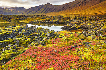 Bog Whortleberry in autumn red colonising the Berserkjahraun lava field, near Skykkisholmur, Snaefellsnes peninsula, Iceland, Polar Regions