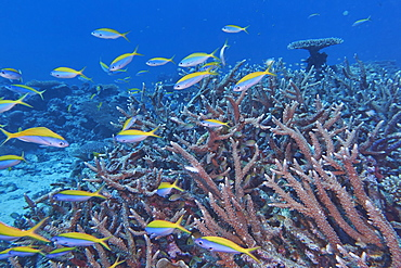 A shoal of Yellowback Fusiliers (Caesio teres) swim around Acropora species hard corals, Gaafu Dhaalu atoll, The Maldives, Indian Ocean, Asia
