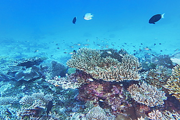 A mix of Acropora species hard corals, on a tropical coral reef, around Gaafu Dhaalu atoll, in the south of The Maldives, Indian Ocean, Asia