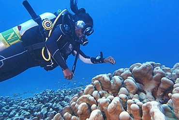 A diver around a Stylophora species hard coral, on a tropical coral reef, in Gaafu Dhaalu atoll, The Maldives. Indian Ocean, Asia