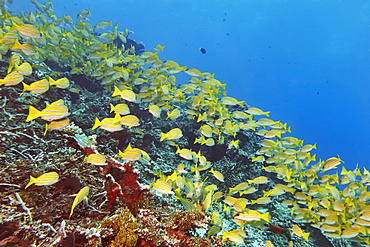 A shoal of Blue-striped Snappers (Lutjanus kasmira) swims across a tropical coral reef, in Gaafu Dhaalu atoll, The Maldives, Indian Ocean, Asia