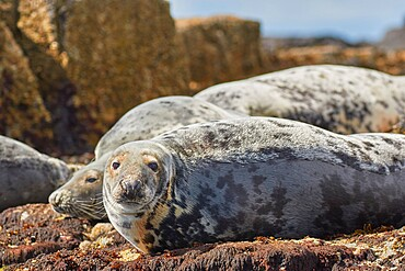 Basking Grey Seals (Halichoerus grypus), on Longstone Island, Farne Islands, Northumberland, northeast England, United Kingdom, Europe