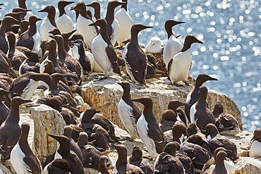 Crowds of nesting Guillemots (Uria aalge), on Staple Island, Farne Islands, Northumberland, England, United Kingdom, Europe