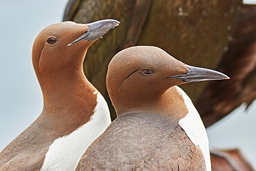 A Guillemot pair (Uria aalge), on Inner Farne, Farne Islands, Northumberland, England, United Kingdom, Europe