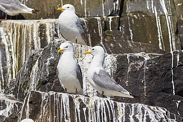 Kittiwakes (Rissa tridactyla), nesting on cliffs on Staple Island, Farne Islands, Northumberland, northeast England, United Kingdom, Europe