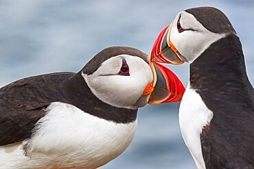 Two Atlantic Puffins (Fratercula arctica) greeting, on Staple Island, Farne Islands, Northumberland, northeast England, United Kingdom, Europe