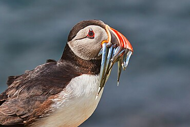 An Atlantic Puffin (Fratercula arctica), carrying sand eels, Staple Island, Farne Islands, Northumberland, northeast England, United Kingdom, Europe