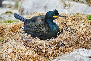 A Shag (Phalacrocorax aristotelis) with chicks, on Staple Island, in the Farne Islands, Northumberland, England, United Kingdom, Europe