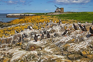 Nesting Puffins (Fratercula arctica) on Staple Island, in the Farne Islands, Northumberland, northeast England, United Kingdom, Europe