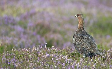 Red grouse (Lagopus lagopus), North Pennine Moors, County Durham, England, United Kingdom, Europe - 1204-1