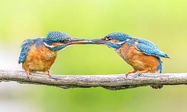 Kingfisher (Alcedo atthis), Yorkshire, England, United Kingdom, Europe - 1204-10