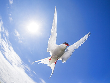Arctic tern (Sterna paradisaea), Farne Islands, Northumberland, England, United Kingdom, Europe
