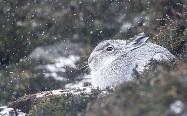 Mountain hare (Lepus timidus), Scottish Highlands, Scotland, United Kingdom, Europe