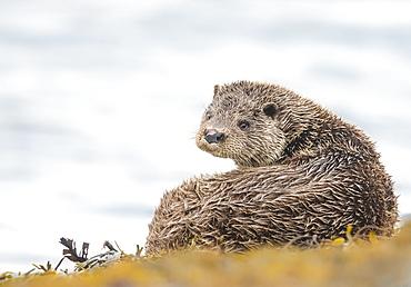 Otter (Lutrinae), West Coast of Scotland, United Kingdom, Europe - 1204-21