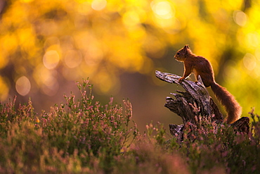 Red squirrel (Sciurus vulgaris) and autumnal colours, Cairngorms National Park, Scotland, United Kingdom, Europe - 1205-16