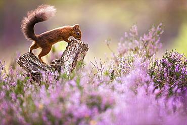 Red squirrel (Sciurus vulgaris) in blooming heather, Cairngorms National Park, Scotland, United Kingdom, Europe - 1205-17