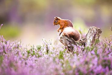 Red squirrel (Sciurus vulgaris) in blooming heather, Cairngorms National Park, Scotland, United Kingdom, Europe