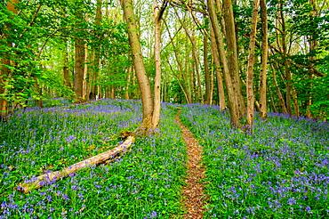 Bluebells, High Littleton Woods, Somerset, England, United Kingdom, Europe