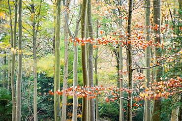 Trees, autumn, Leigh Woods, Bristol, England, United Kingdom, Europe