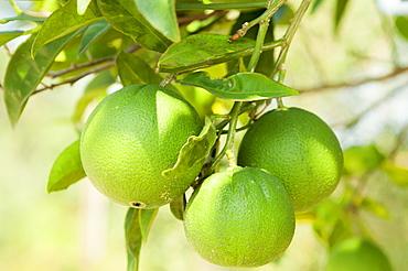 Limes ripening on the tree, Corfu, Greece, Europe