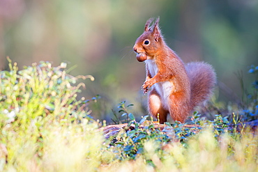 Red squirrel with nut, Cairngorms National Park, Scotland, United Kingdom, Europe