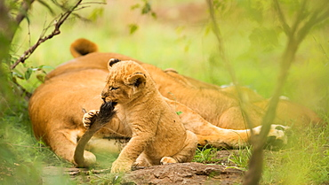 Lion cub biting mother's tail, Masai Mara, Kenya, East Africa, Africa