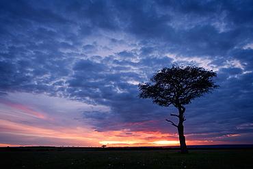 Acacia tree at sunset, Masai Mara, Kenya, East Africa, Africa