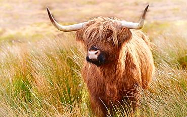 Highland cow, Scotland, United Kingdom, Europe