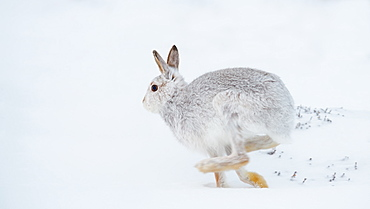 Mountain hare running (Lepus timidus) in winter snow, Scottish Highlands, Scotland, United Kingdom, Europe