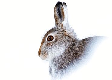 Mountain hare (Lepus timidus) in winter snow, Scottish Highlands, Scotland, United Kingdom, Europe